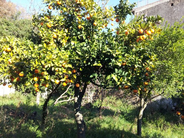 Arancio-alberi