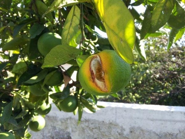 Arancia-infestata