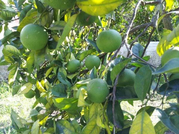Arancio-ingiallimento-foglie
