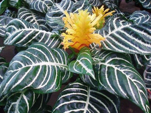 afelandra-squarrosa-fiore-foglie