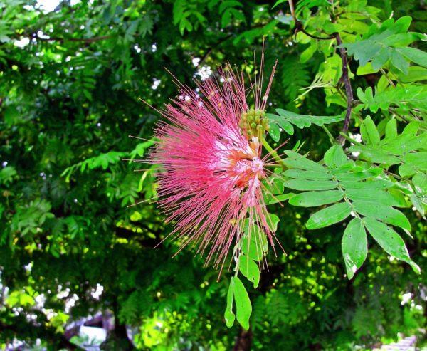 albizia-acacia-costantinopoli-significato