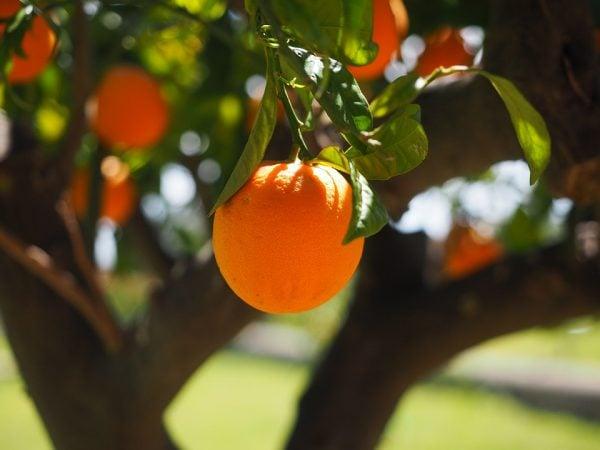arancia-arancio