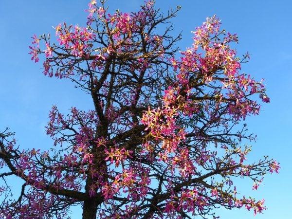 Ceiba-fioritura