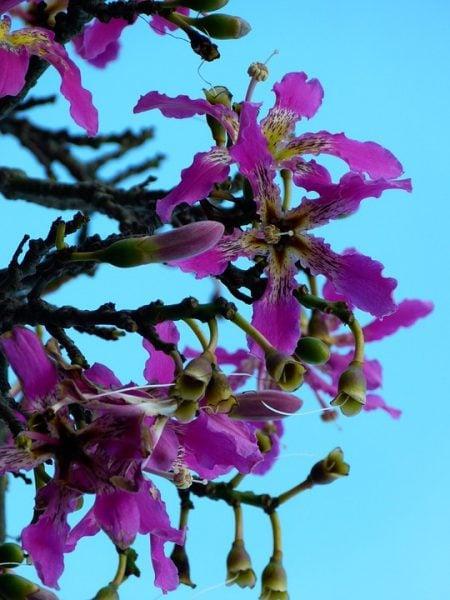 Chorisia-fiore