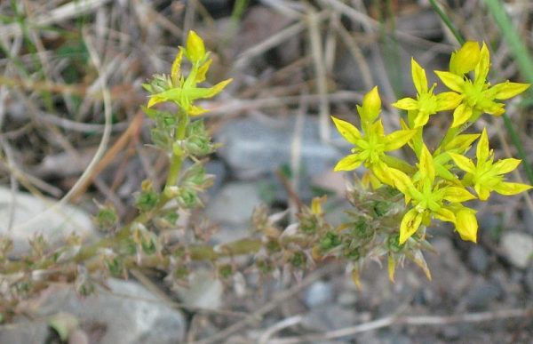 sedum-fiori