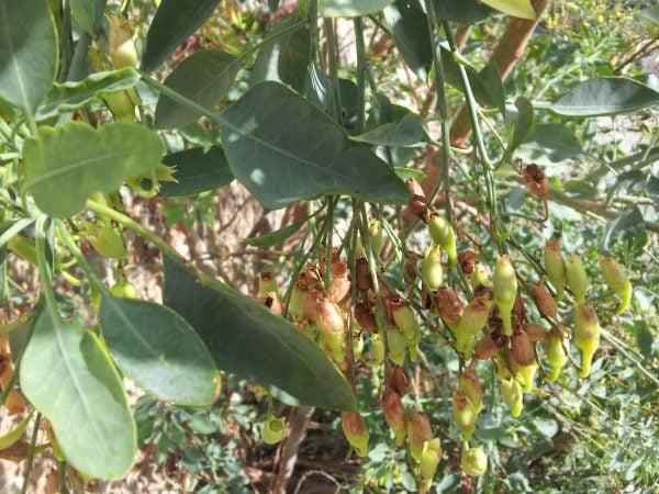 Nicotiana-glauca-frutti
