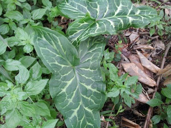 Aurum-gigaro-coltivazione