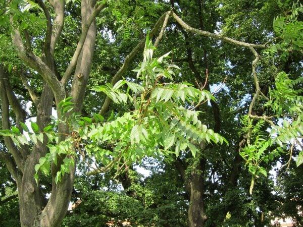 ailanthus-potatura