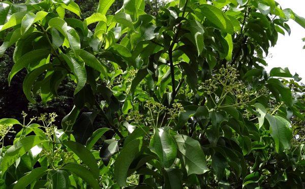 cannella-cinnamonum-potatura