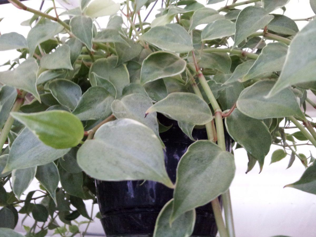 Eschinanto-potatura