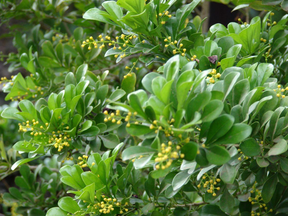 aglaia-odorata-fiori