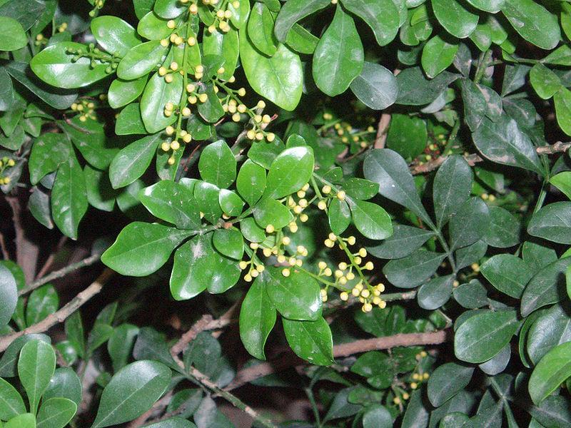 aglaia-odorata-foglie