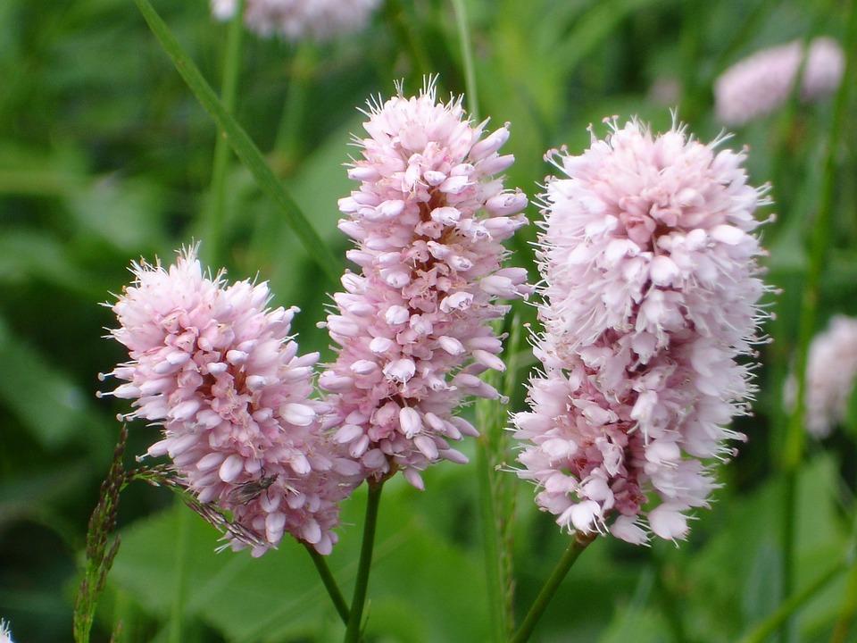 bistorta-fiori