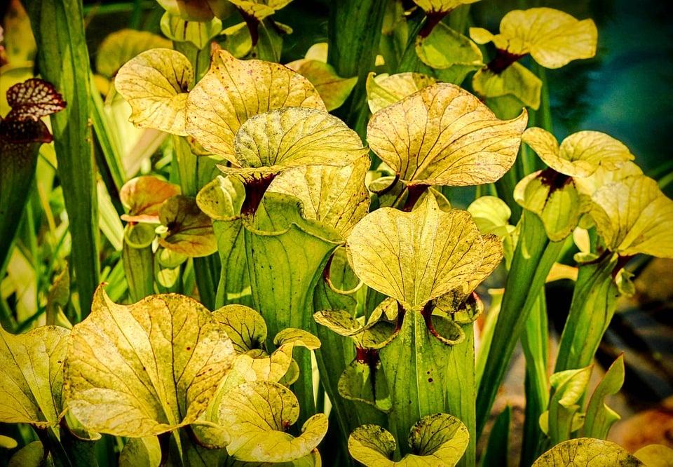 sarracenia-pianta-carnivora