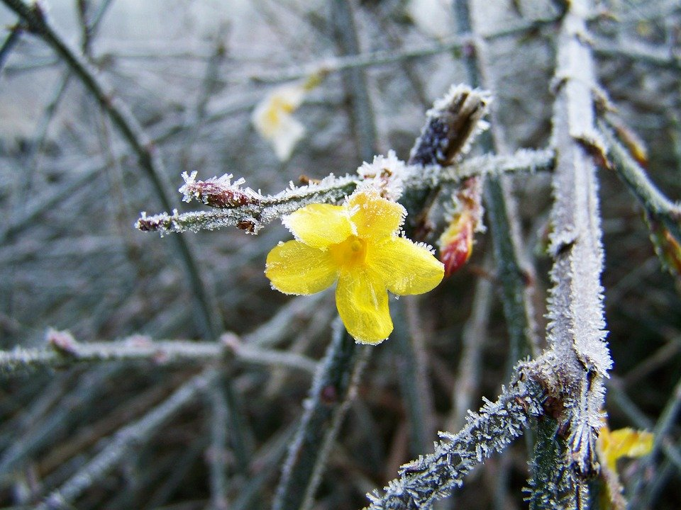 gelsomino-giallo-gelsomino d'inverno