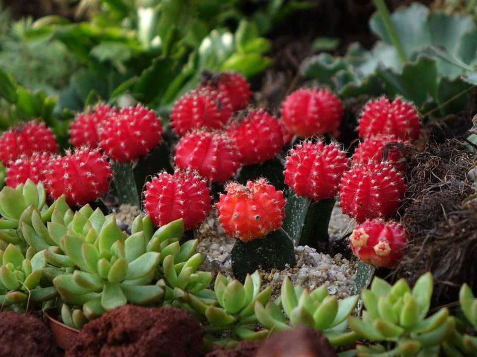 gymnocalycium-cactus