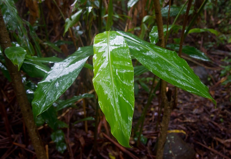 zenzero-foglie