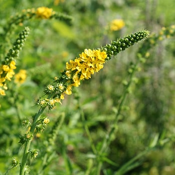 Agrimonia-eupatoria-infiorescenze