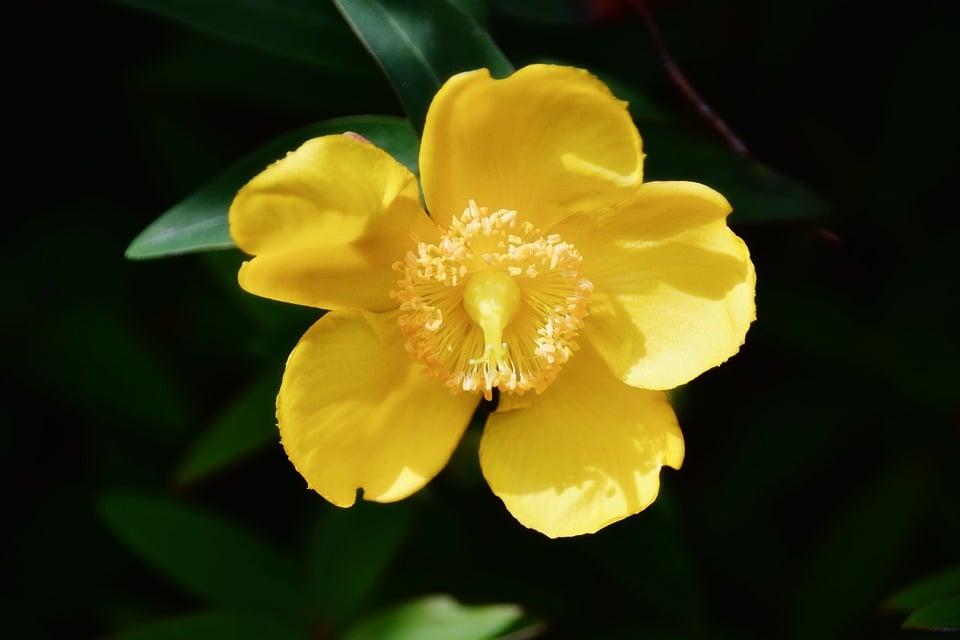 agrimonia-fiore
