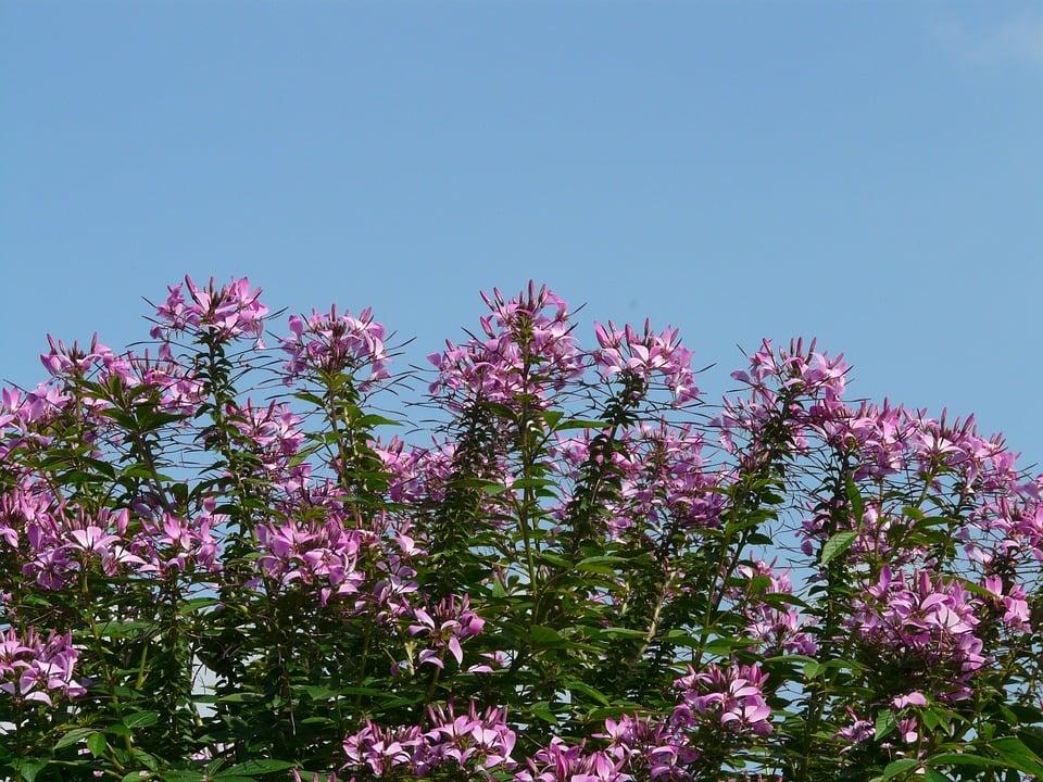 cleome-fioritura