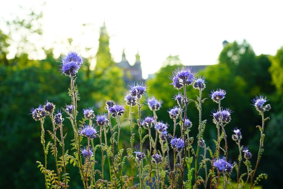 Facelia-Phacelia-fiori-steli