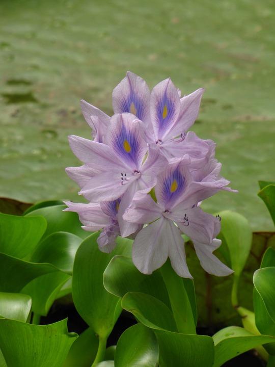 eichhornia-fiori