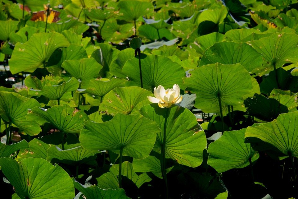 fior-di-loto-foglie-steli