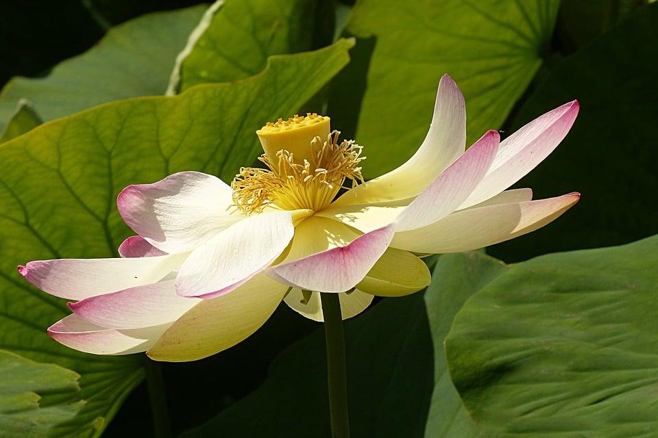 fior-di-loto-petali-frutti