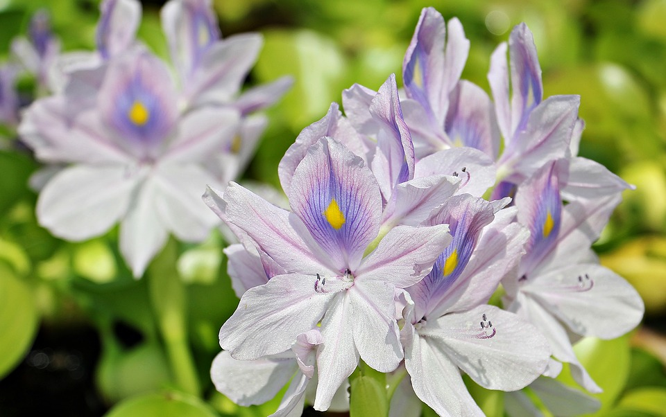 giacinto-dacqua-fiori
