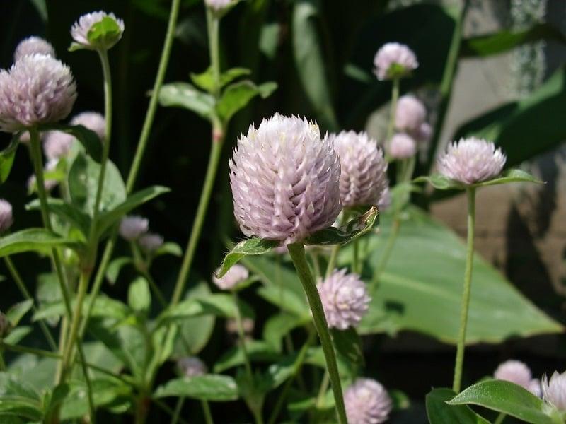 gonfrena-pianta da fiore