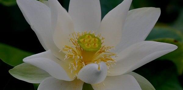 loto-grandiflora-alba