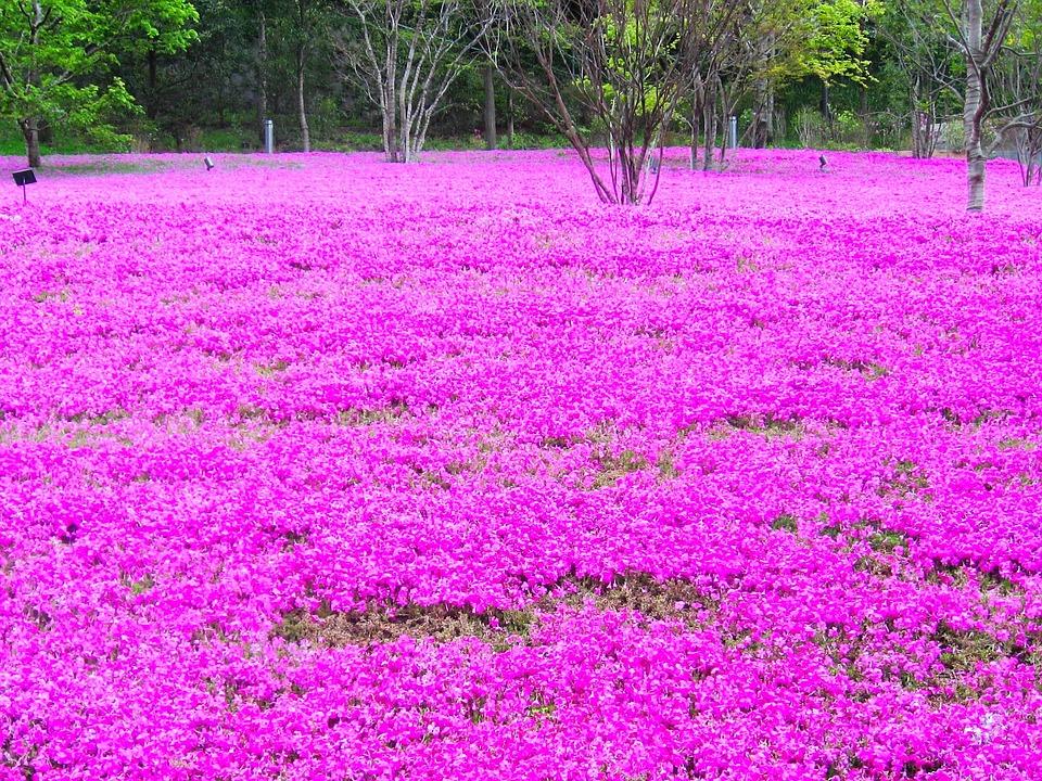 phlox-muschio rosa