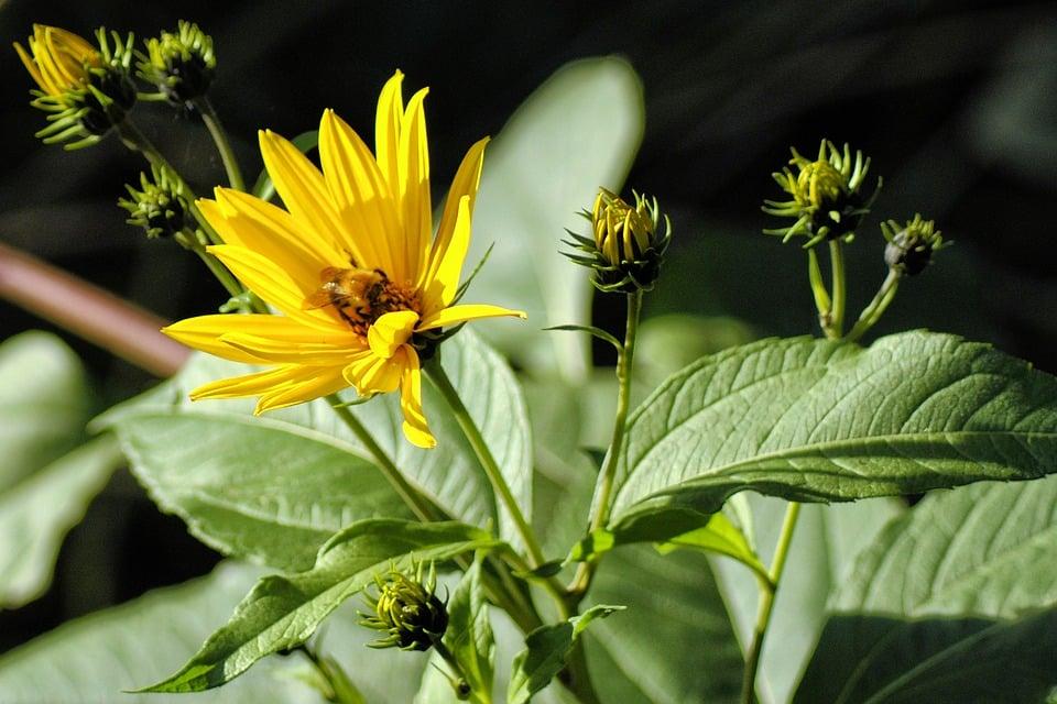 topinambur-helianthus-tuberosus