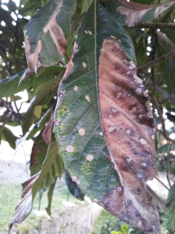 Ruggine-malattia-foglie
