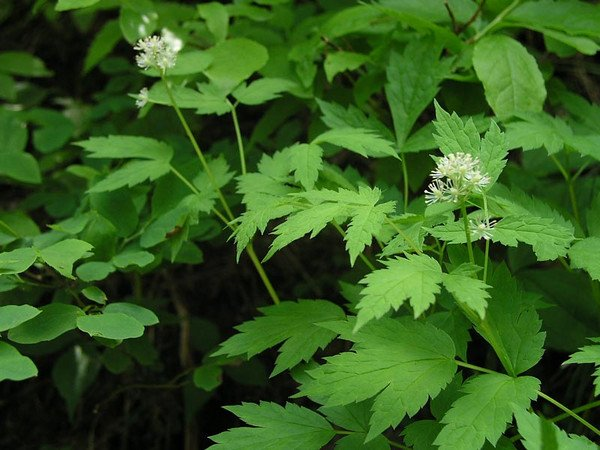 Actaea-pianta