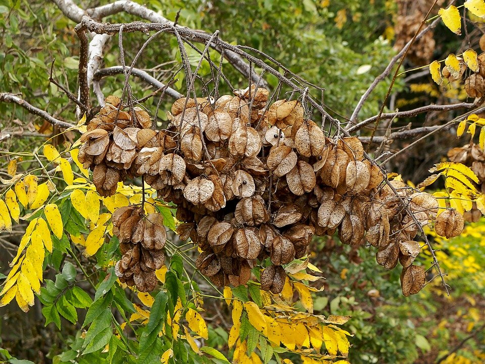 Coluteria-albero-lanterne cinesi