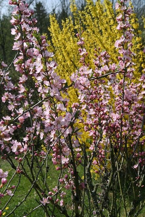Forsythia- Abeliophyllum