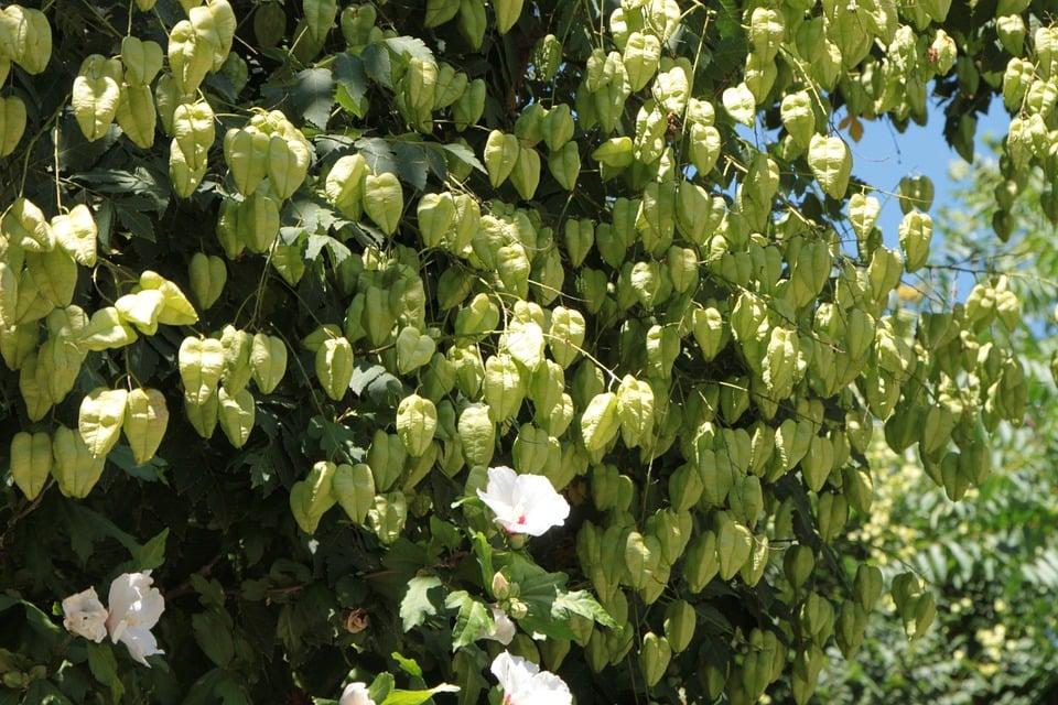 Koelreuteria-albero pioggia d'oro