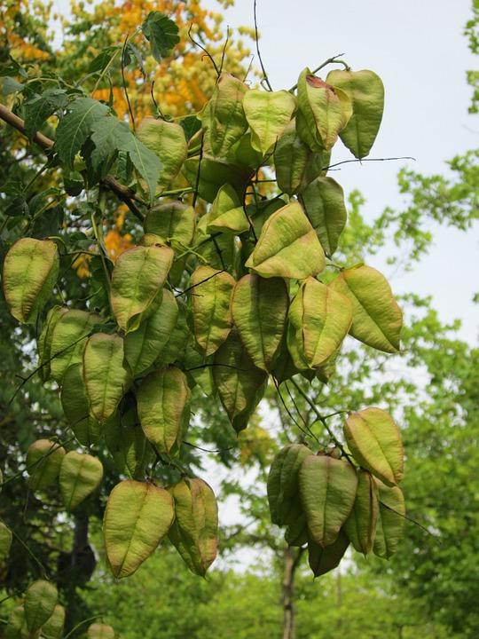 koelreuteria-paniculata-capsule-frutti