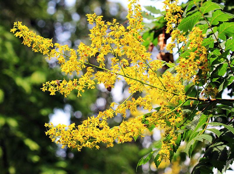 Koelreuteria-paniculata-fiori