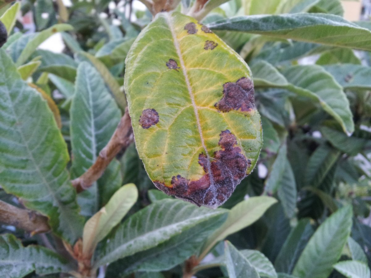 Ruggine-malattia-fungina