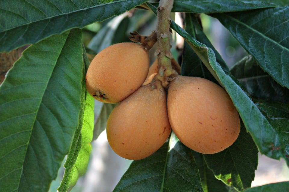 Nespolo-frutti-foglie