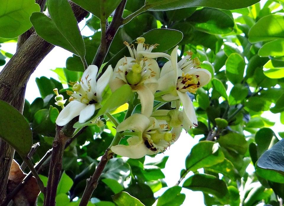 Pompelmo-fiori