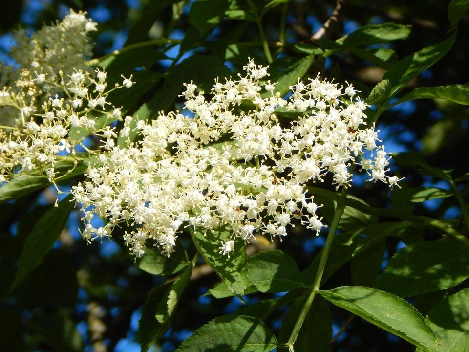 Sambuco-comune-fioritura