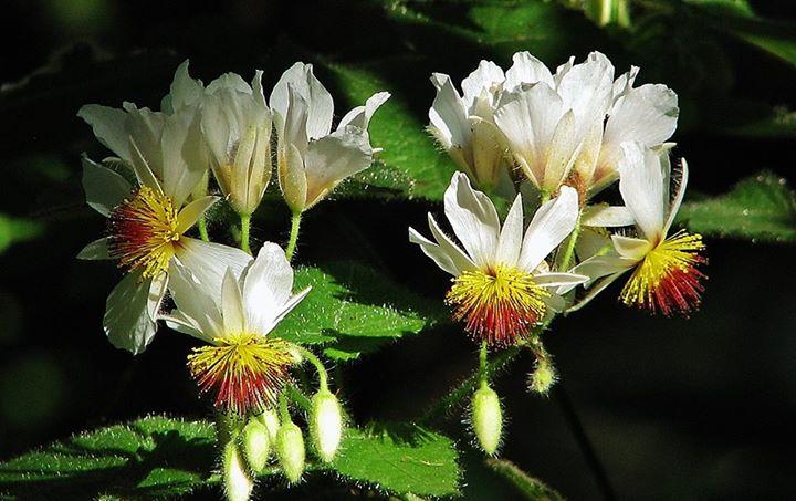Sparmannia- fiori-foglie
