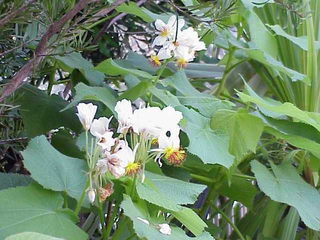 Galleria foto - Sparmannia africana coltivazione Foto 6