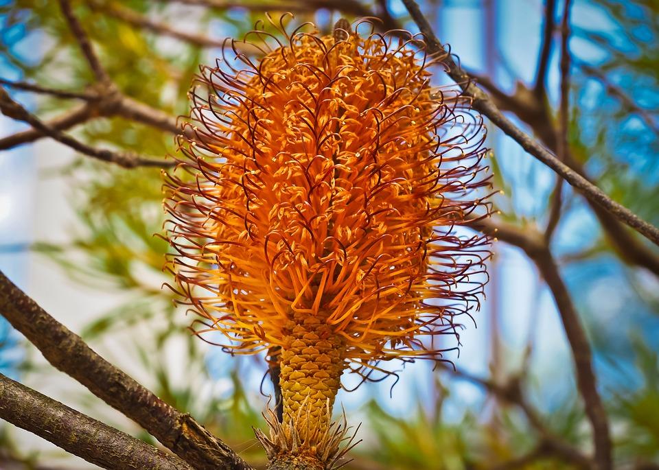 Banksia-varietà
