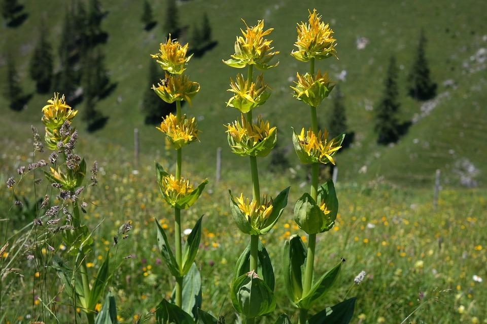 genziana-fiori-gialli