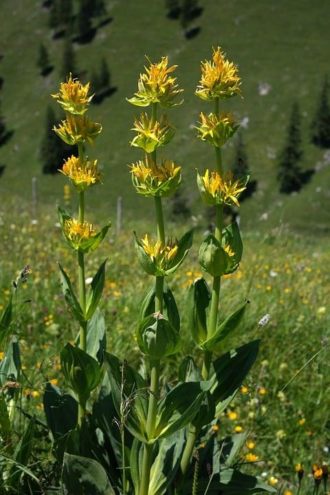 Genziana-lutea-fiori