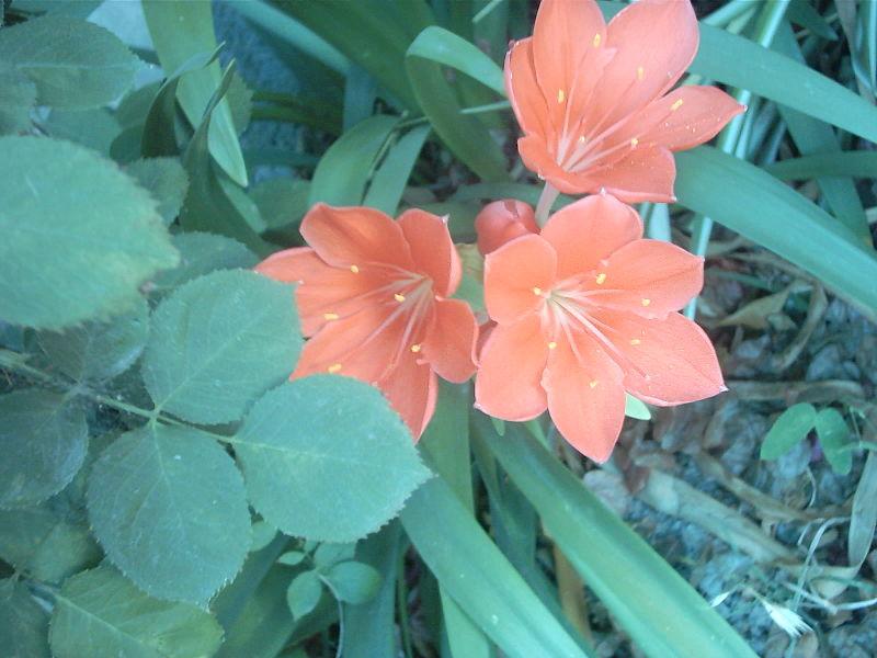 Vallota-Amaryllidaceae